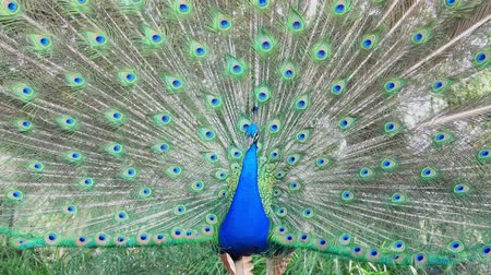 pluma : Male peacock showing its color fan at Los Angeles, California Archivo de Video