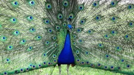 paw : Male mature peacock showing its fan at Los Angeles, California