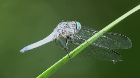 szitakötő : Close up shot of a blue dragonfly resting at Los Angeles, California