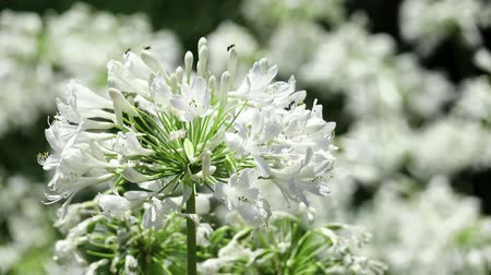 nílus : Close up shot of white Agapanthus praecox blossom at Los Angeles, California