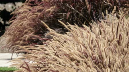 calor : Close up shot of some beautiful silvergrass swinging at Los Angeles, California