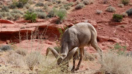 hoorn : Bighorn sheep standing around Valley of Fire State Park at Nevada Stockvideo