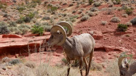 valley of fire : Bighorn sheep standing around Valley of Fire State Park at Nevada Stock Footage