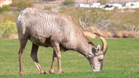 kei : Many big horn sheep at Hemenway Park, Boulder City, Nevada