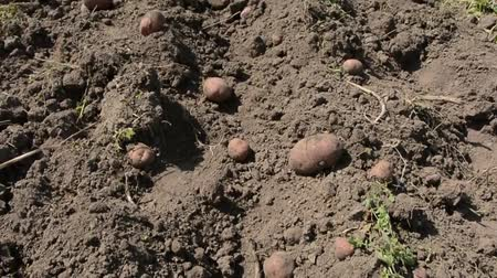 raiz : Many dug large potatoes in the garden.
