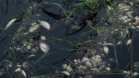 dead mussels and fish float surface with contaminated water