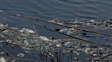 Ecological disaster- Dead mussels and fish float surface with contaminated water