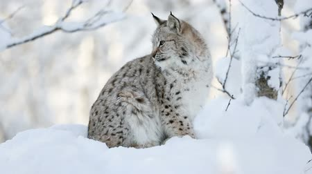 csúcs : Young lynx cub in the cold winter forest