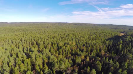 pinho : Flying high above large spruce tree forest