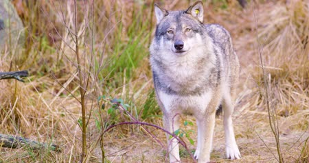 farkas : One grey wolf standing and smells in grass Stock mozgókép