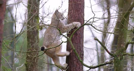 undomesticated cat : Playfull lynx cat cub climbing in a tree in the forest Stock Footage