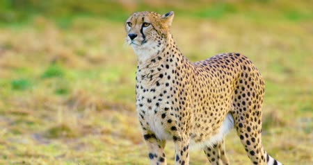 undomesticated cat : Close-up of adult cheetah looking after enemies