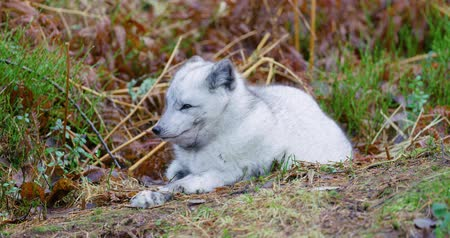 лиса : Cute arctic polar fox rests at forest floor in the early winter
