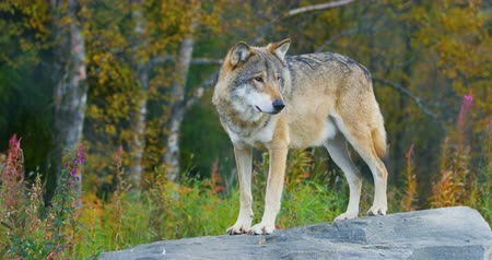 farkas : Adult grey wolf standing on a rock in the forest