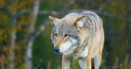 wolf dog : Large grey wolf smells after rivals and danger in the forest