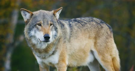 волк : Close-up of beautiful grey wolf standing in the forest observing Стоковые видеозаписи