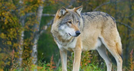 волк : Close-up of a adult grey wolf standing on a rock in the forest Стоковые видеозаписи