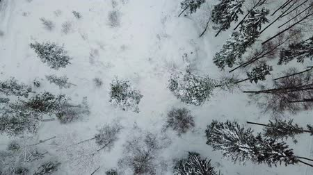 морозный : Flying directly above large forest in the cold winter