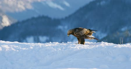 orel : Golden eagle landing in the snow at mountain peak at the winter Dostupné videozáznamy