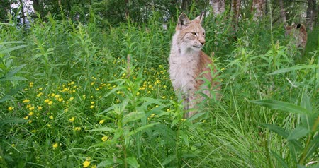 undomesticated cat : European lynx sitting in the grass