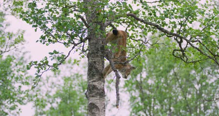 lynx : Playfull lynx cat cub climbing down a tree in the forest