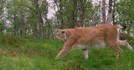 undomesticated cat : Focused old european lynx walking in the forest at summer