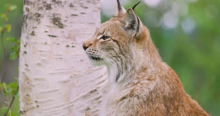 undomesticated cat : Close-up portrait of european lynx sitting in the forest