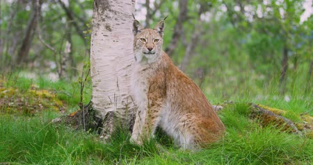 undomesticated cat : Portrait of european lynx sitting in the forest