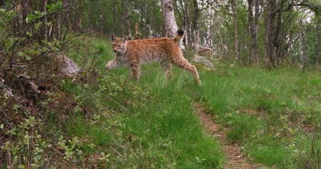 gururlu : European lynx cub walking in the forest a summer evening