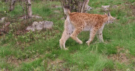 undomesticated cat : Young european lynx walking in the forest a summer evening