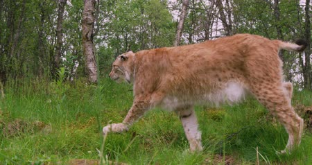 undomesticated cat : European lynx walking in the forest at summer Stock Footage