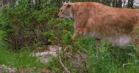 undomesticated cat : Close-up of a european lynx walking in the forest at summer Stock Footage