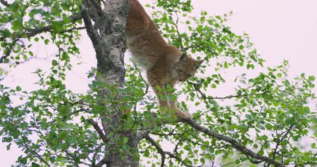 lynx : Playfull lynx cat cub climbing in a tree in the forest Stock Footage