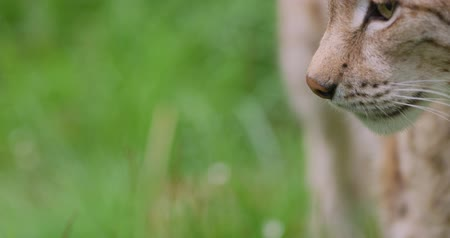 undomesticated cat : Close-up portrait of european lynx standing in the forest Stock Footage