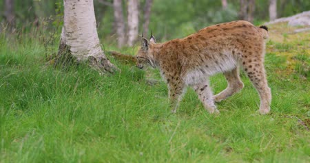 undomesticated cat : Cute young european lynx walking in the forest a summer evening