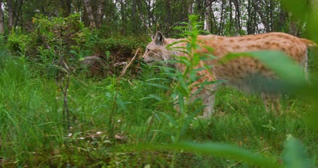 undomesticated cat : Two focused young european lynx cats walking in the forest in evening