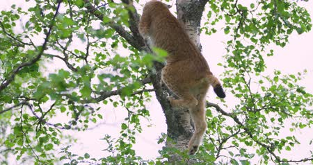 gato selvagem : Cute and playfull lynx cat cub climbing in a tree in the forest