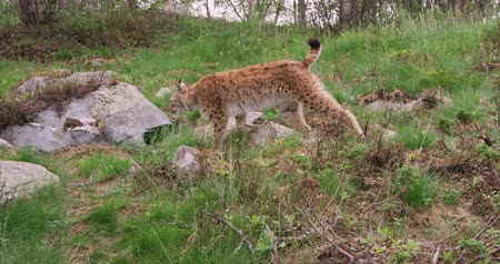 undomesticated cat : Focused young european lynx running in the forest a summer evening