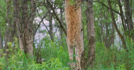 csúcs : Large lynx cat climbing in a tree in the forest Stock mozgókép
