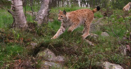 lynx : Playful young european lynx running in the forest a summer evening