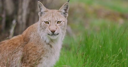 csúcs : Close-up portrait of european lynx sitting in the forest