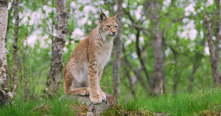 undomesticated cat : Full body portrait of european lynx sitting in the forest Stock Footage
