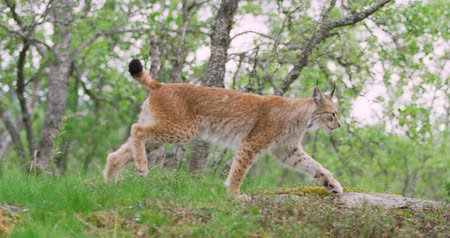 csúcs : Focused young european lynx running in the forest a summer evening
