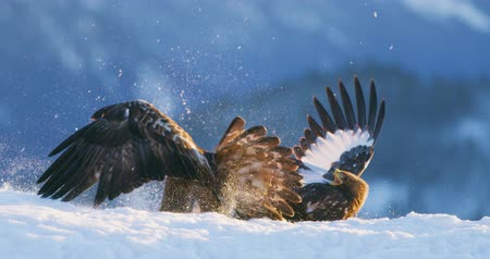 arctic bird : Brutal fight between two large eagles in the mountains at winter Stock Footage