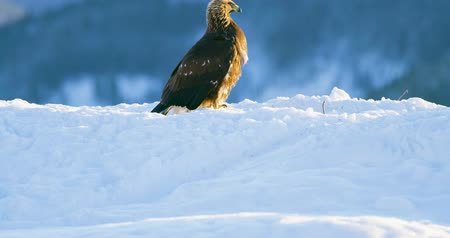 pióro : Golden eagle eats on a dead animal in the mountains at winter