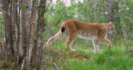csúcs : Focused young european lynx going in the forest a summer evening