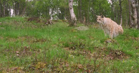 csúcs : European lynx hunting in the forest a summer evening