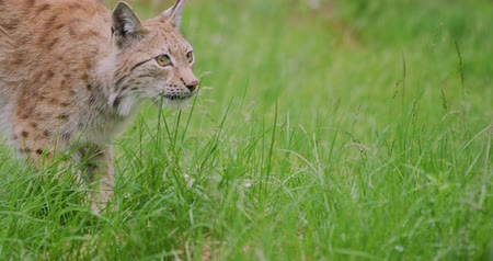csúcs : Close-up of european lynx playing in the forest
