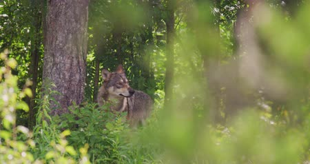 Large grey wolf looking after rivals and danger in the dense summer forest