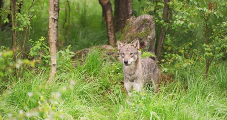 presa : Curious grey wolf looking after prey in the dense summer forest